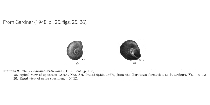 <i>Teinostoma lenticulare</i> from Gardner (1948), pl. 25, figs. 25, 26. ANSP 1567. Yorktown Formation, Petersburg, Virginia.