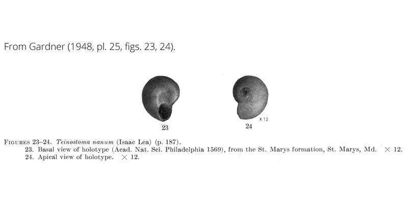 <i>Teinostoma nanum</i> from Gardner (1948), pl. 25, figs. 23, 24. Holotype, ANSP 1569. St. Marys Formation, St. Marys, Maryland.