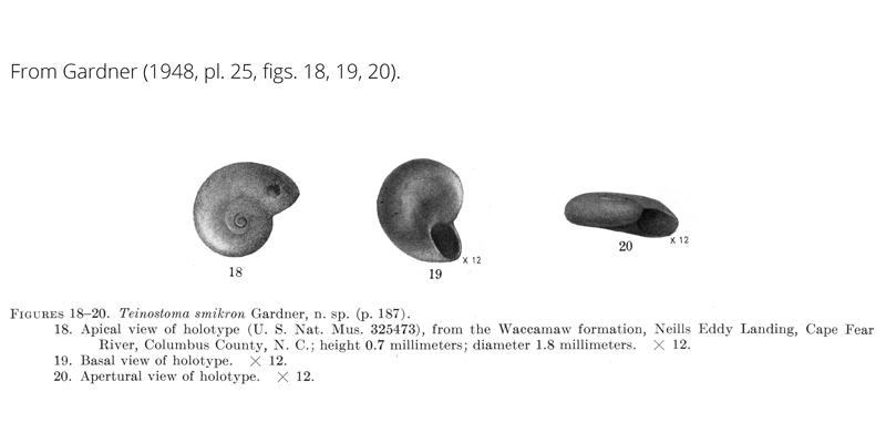 <i>Teinostoma smikron</i> from Gardner (1948), pl. 25, figs. 18-20. Holotype, USNM 325473. Waccamaw Formation, Columbus County, North Carolina.