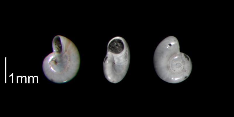 <i>Teinostoma smikron</i> from the lower Pleistocene Waccmaw Formation of Brunswick County, North Carolina (PRI 70392).