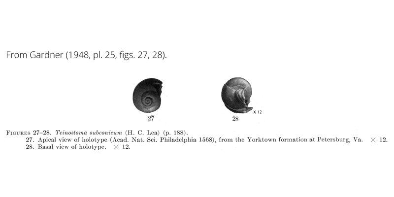 <i>Teinostoma subconicum</i> from Gardner (1948), pl. 25, figs. 27, 28. Holotype, ANSP 1568. Yorktown Formation, Petersburg, Virginia.