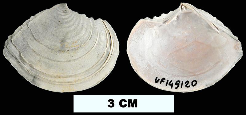 <i>Tellidora cristata</i> from the Plio-Pleistocene (formation unknown) of Sarasota County, Florida (UF 149120).
