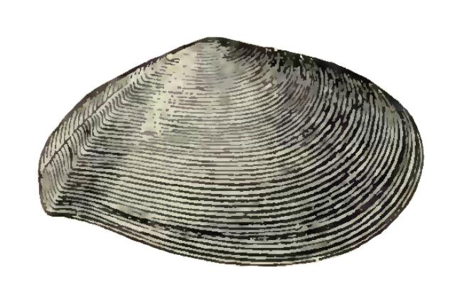 Specimen of <i>Tellinella chipolana</i> figured by Dall (1900, pl. 47, fig. 6); 38.0 mm in length.