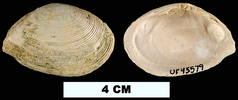 <i>Tellinella chipolana</i> from the Early Miocene Chipola Fm. of Liberty County, Florida (UF 45579).