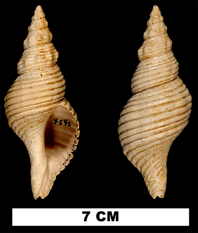 <i>Terebraspira elegans</i> from the Late Pliocene Duplin Fm. of Bladen County, North Carolina (UF 211668).