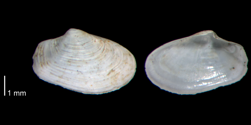 <i>Thracia brioni</i> from the Early Pleistocene James City Fm. of Beaufort County, North Carolina (PRI 70483).