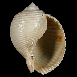 Tonnidae