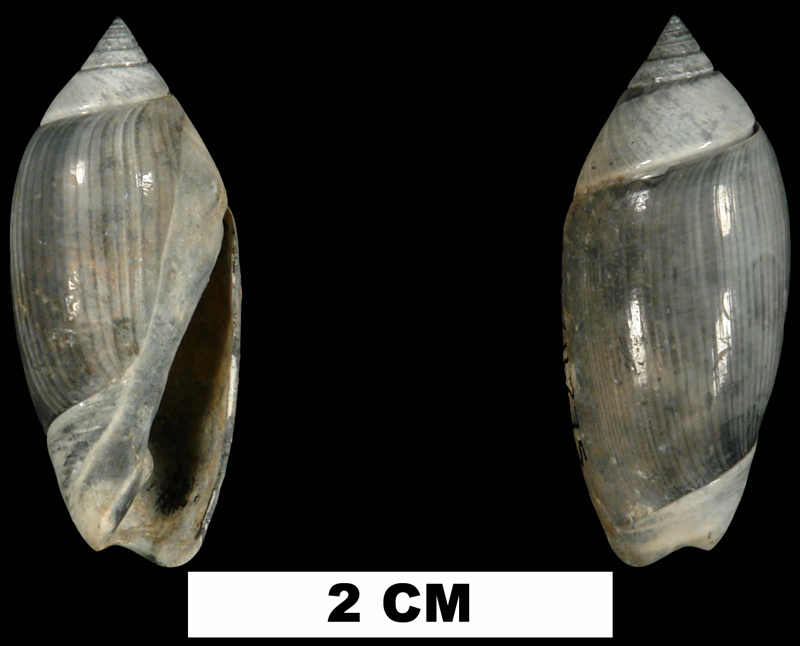 <i>Olivella tamiamiensis</i> from the Tamiami Fm. (Pinecrest Beds) of Sarasota County, Florida (UF 211275).