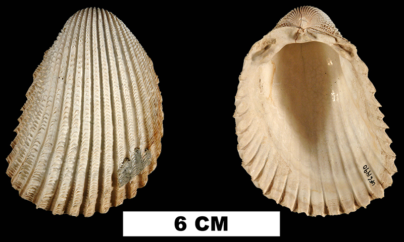 <i>Trachycardium aclinensis</i> from the Late Pliocene Tamiami Fm. (Pinecrest Beds) of Highlands County, Florida (UF 61490).