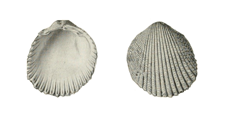 Specimen of <i>Trachycardium evergladeensis</i> figured by Mansfield (1931, pl. 4, fig. 1 and 3).