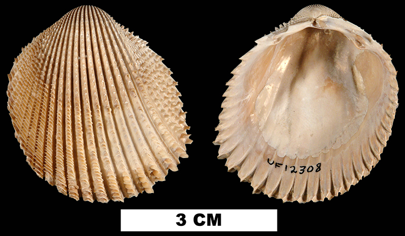 <i>Trachycardium evergladeensis</i> from the Late Pliocene Tamiami Fm. of Miami-Dade County, Florida (UF 12308).