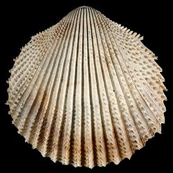 Trachycardium oedalium