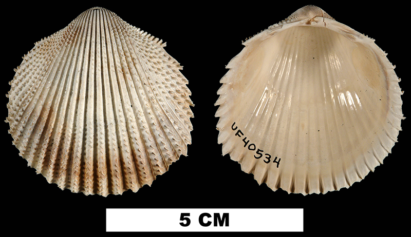 <i>Trachycardium oedalium</i> from the Late Pliocene Tamiami Fm. (Pinecrest Beds) of Sarasota County, Florida (UF 40534).