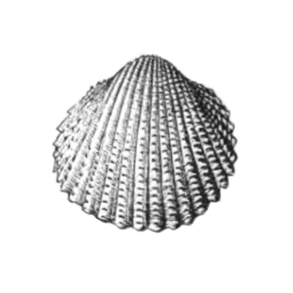 Specimen of <i>Trachycardium parile</i> figured by Dall (1900, pl. 48, fig. 17); 20.0 mm in length.