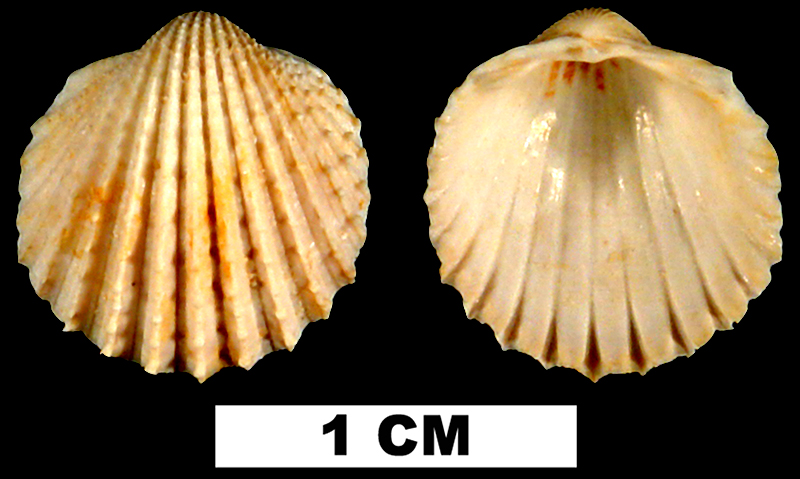 <i>Trachycardium parile</i> from the Early Miocene Chipola Fm. of Calhoun County, Florida (UF 44065).