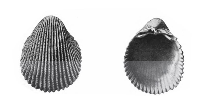 Specimen of <i>Trachycardium plectopleura</i> figured by Gardner (1926, pl. 22, fig. 10 and 11); 47.2 mm and 45.6 mm in length, respectively.