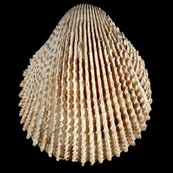 Trachycardium plectopleura