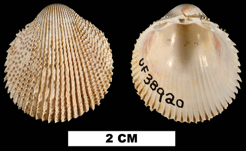 <i>Trachycardium virile</i> from the Early Miocene Chipola Fm. of Calhoun County, Florida (UF 38920).