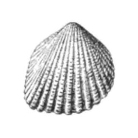 Specimen of <i>Trigoniocardia burnsii</i> figured by Dall (1900, pl. 48, fig. 15); 20.0 mm in length.