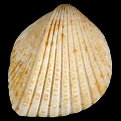 Trigoniocardia