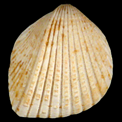 Trigoniocardia burnsii