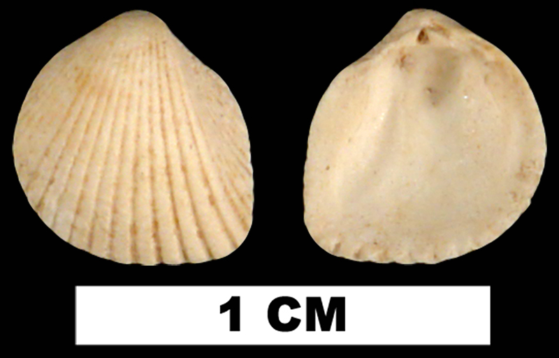 <i>Trigoniocardia decidua</i> from the Early Miocene Chipola Fm. of Calhoun County, Florida (UF 113956).