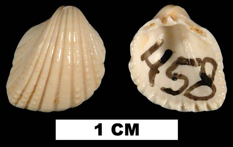 <i>Trigoniocardia simrothi</i> from the Early Miocene Chipola Fm. of Calhoun County, Florida (UF 104840).