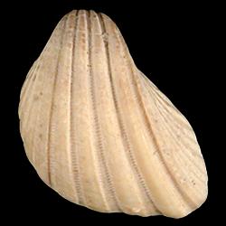 Trigoniocardia willcoxi