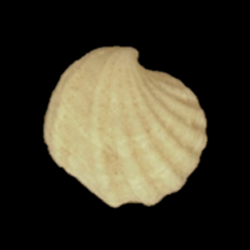 Verticordiidae