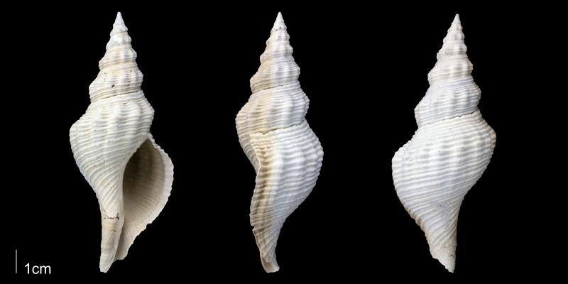 <i>Triplofusus giganteus</i> from the upper Pliocene Tamiami Fm. (Pinecrest Beds) of Sarasota County, Florida (PRI 70095).