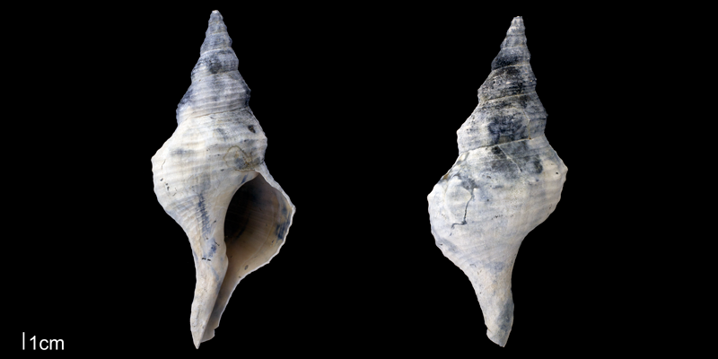 <i>Triplofusus giganteus</i> from the upper Pliocene Tamiami Fm. (Pinecrest Beds) of Sarasota County, Florida (PRI 70143).