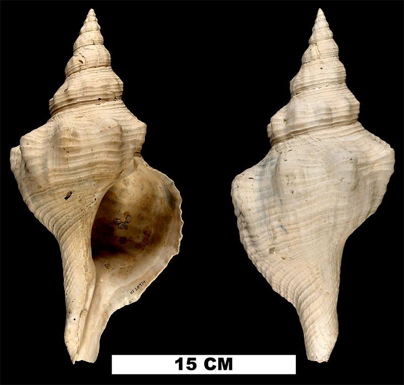 <i>Triplofusus giganteus</i> from the Plio-Pleistocene (formation unknown) of Sarasota County, Florida (UF 28794).