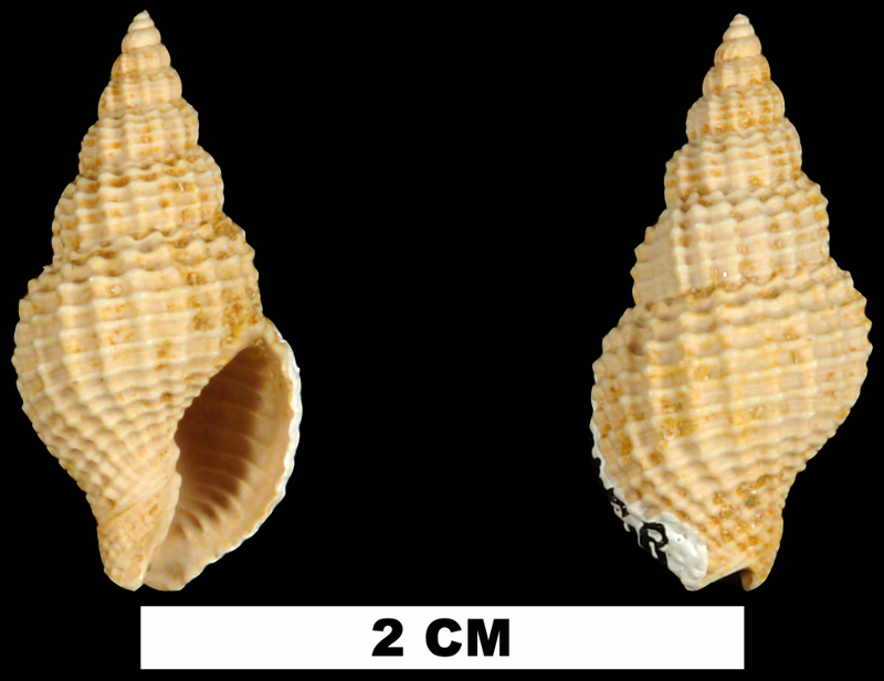 <i>Antillophos dictyola</i> from the Early Miocene Chipola Fm. of Calhoun County, Florida (UF 91458).