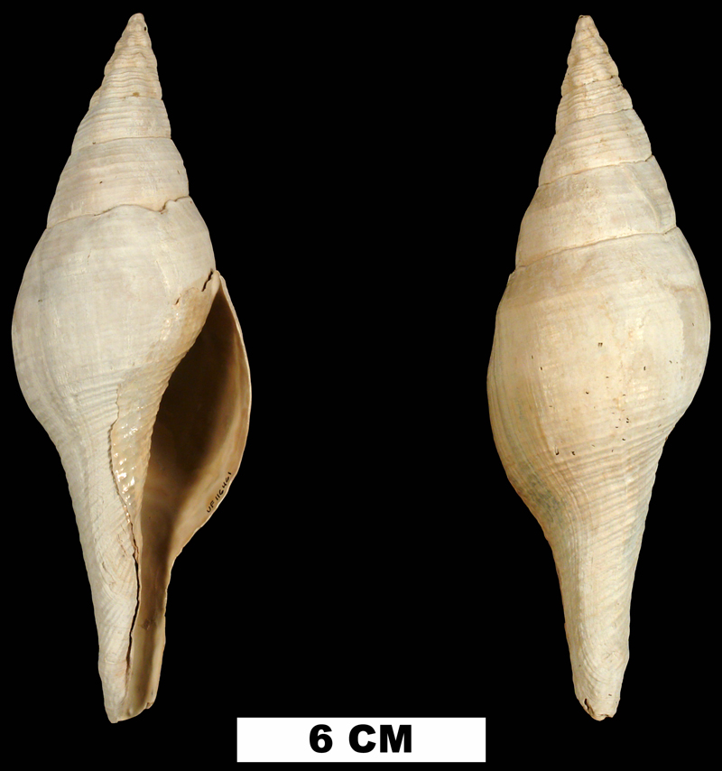 <i>Turbinella regina</i> from the Early Pleistocene Caloosahatchee Fm. of Okeechobee County, Florida (UF 116461).