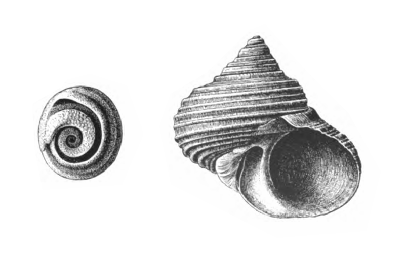 Specimen of <i>Turbo rhectogrammicus</i> figured by Dall (1892, pl. 18, fig. 8a and 11); 46 mm in length.