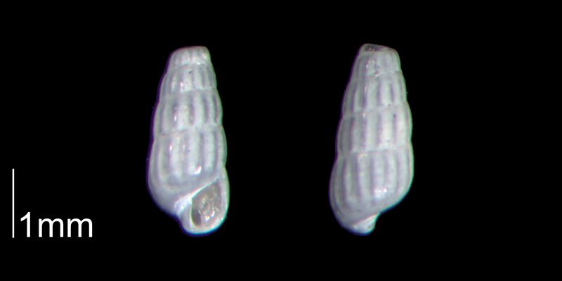 <i>Turbonilla abrupta</i> from the Early Pleistocene Waccamaw Fm. of Brunswick County, North Carolina (PRI 70439-2).