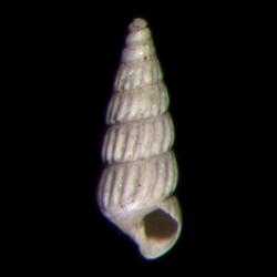 Pyramidellidae