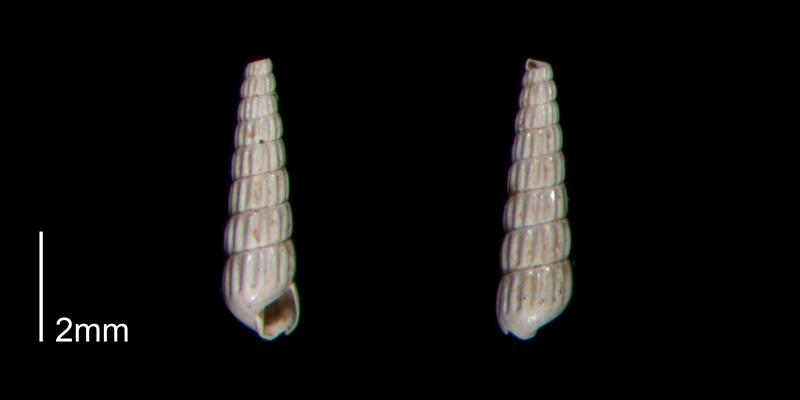 <i>Turbonilla abrupta</i> from the Early Pleistocene James City Fm. of Beaufort County, North Carolina (PRI 70512-2).