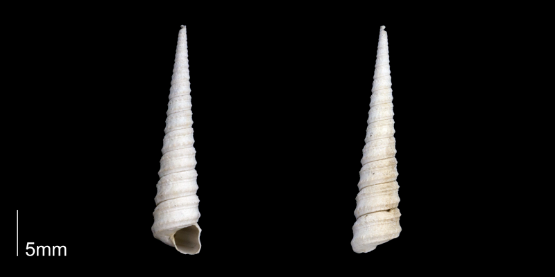 <i>Turritella apicalis</i> from the late Pliocene Tamiami Fm. (Pinecrest Beds) of Sarasota County, Florida (PRI 70082).