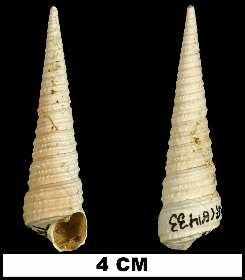 <i>Turritella apicalis</i> the Late Pliocene Tamiami Fm. (Pinecrest Beds) of Charlotte County, Florida (UF 181433).