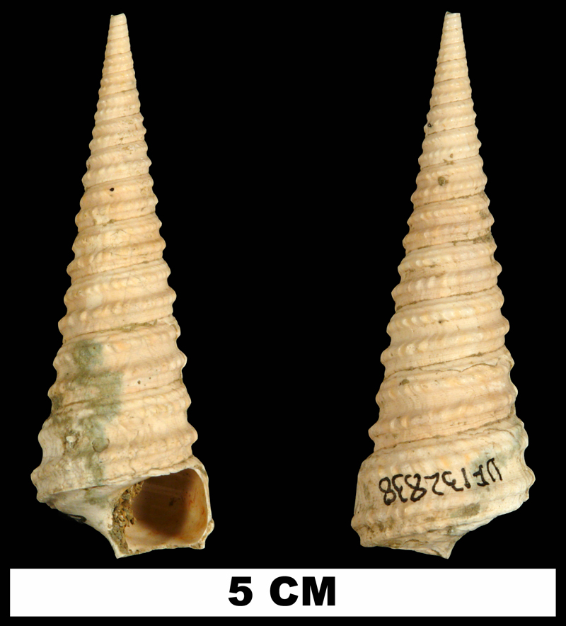 <i>Turritella cookei</i> from the Late Pliocene Jackson Bluff Fm. of Leon County, Florida (UF 132838).