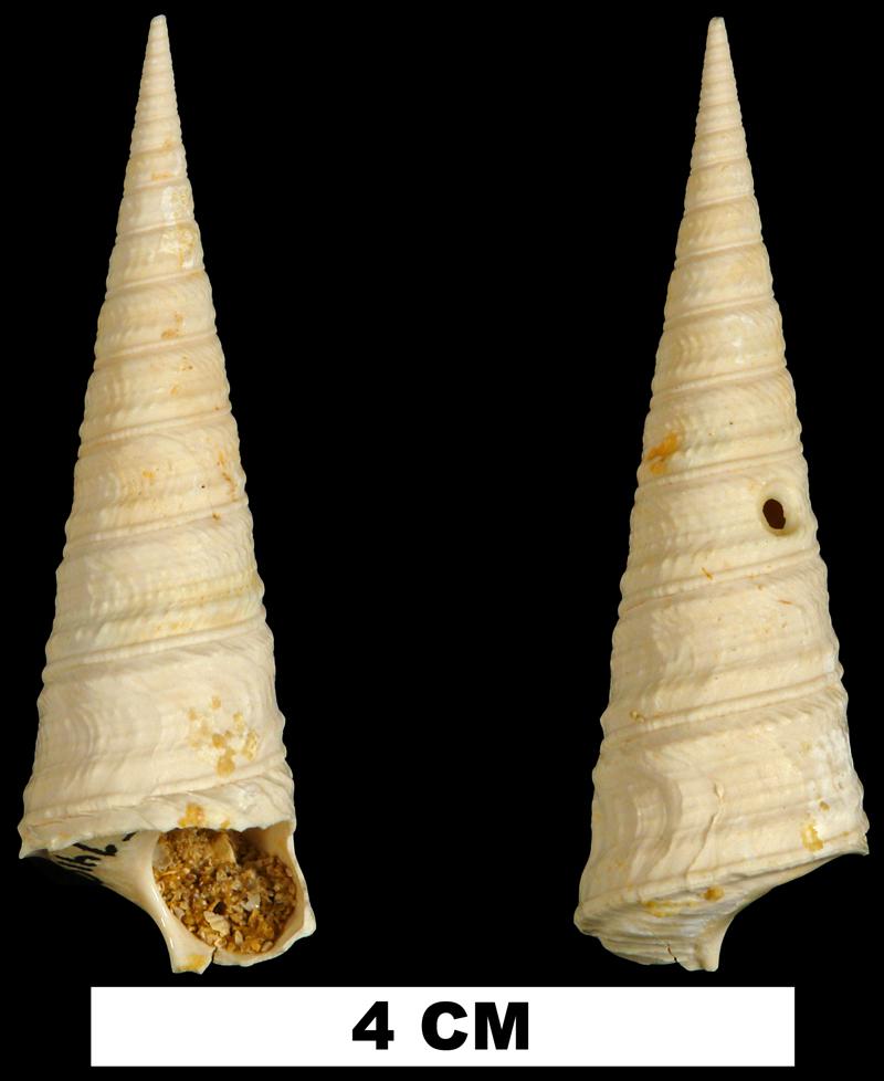 <i>Turritella mixta</i> the Early Miocene Chipola Fm. of Calhoun County, Florida (UF 74102).