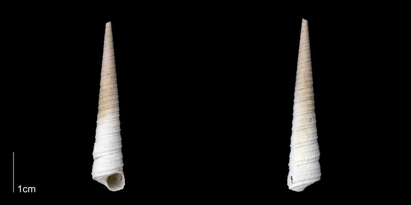 <i>Turritella wagneriana</i> from the late Pliocene Tamiami Fm. (Pinecrest Beds) of Sarasota County, Florida (PRI 70065).