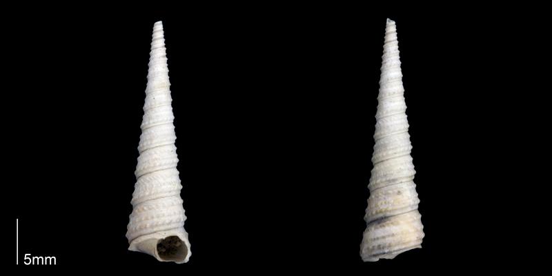 <i>Turritella wagneriana</i> from the late Pliocene Tamiami Fm. (Pinecrest Beds) of Sarasota County, Florida (PRI 70272).