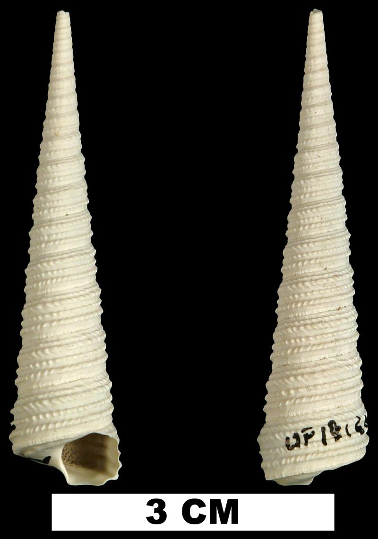 <i>Turritella wagneriana</i> from the Late Pliocene Tamiami Fm. of Collier County, Florida (UF 181622).