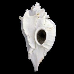 Typhis harrisi