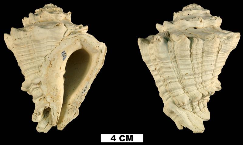 <i>Vasum floridanum</i> from the Plio-Pleistocene (formation unknown) of DeSoto County, Florida (UF 107717).