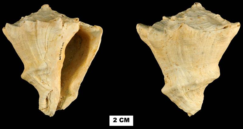 <i>Vasum haitense</i> from the Early Miocene Chipola Fm. of Liberty County, Florida (UF 221630).