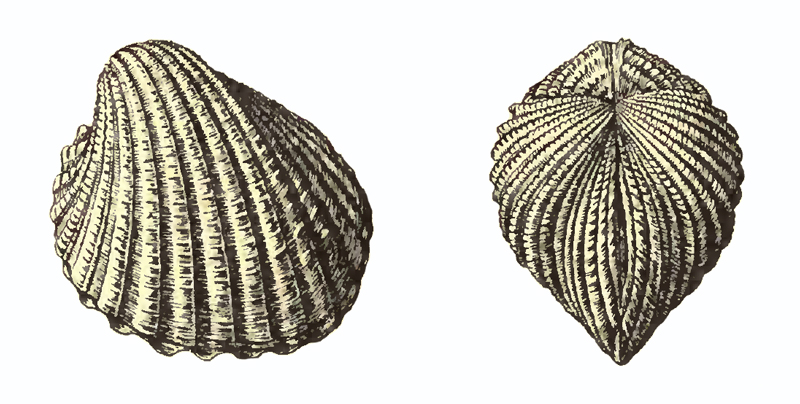 Specimen of <i>Venericardia hadra</i> figured by Dall (1903, pl. 53, fig. 11 and 13); 40.0 mm in length.