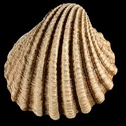 Venericardia himerta